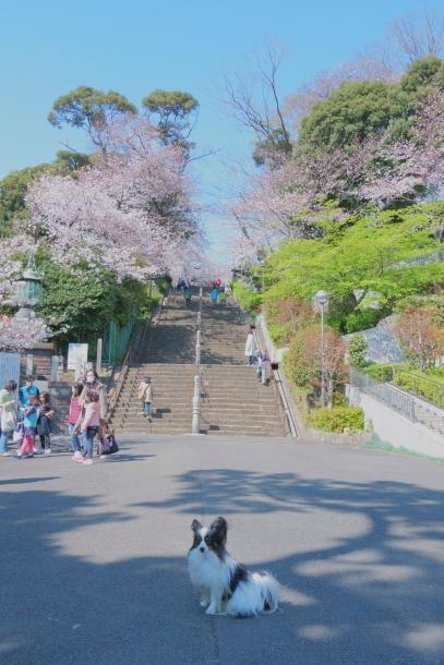 河川敷の桜201900075856