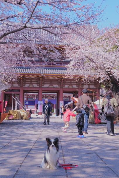 河川敷の桜201900075861