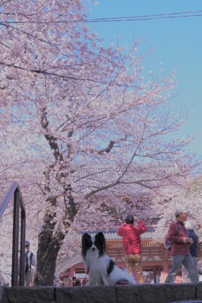 河川敷の桜201900075862