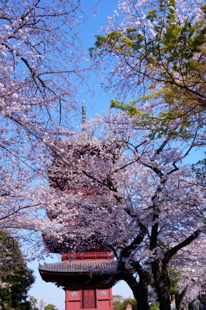 河川敷の桜201900075882