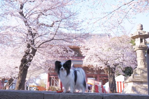 河川敷の桜201900075893