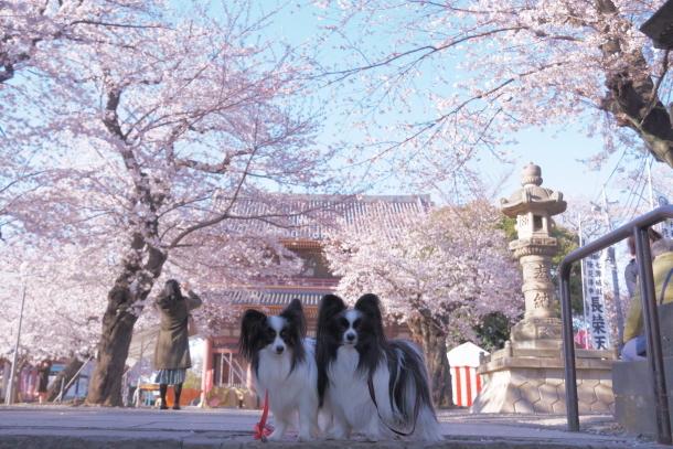 河川敷の桜201900075899