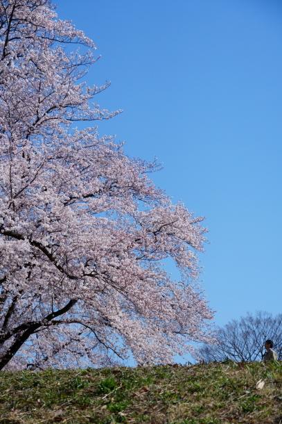 エルの桜サブだけ00075908