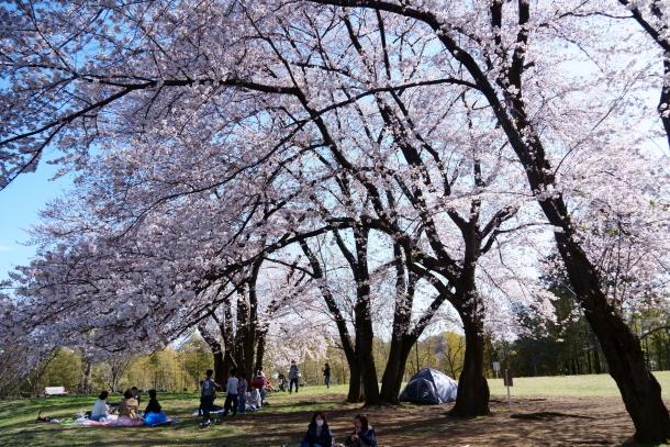 エルの桜サブだけ00075910