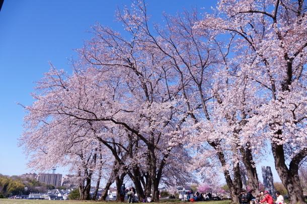 エルの桜サブだけ00075921