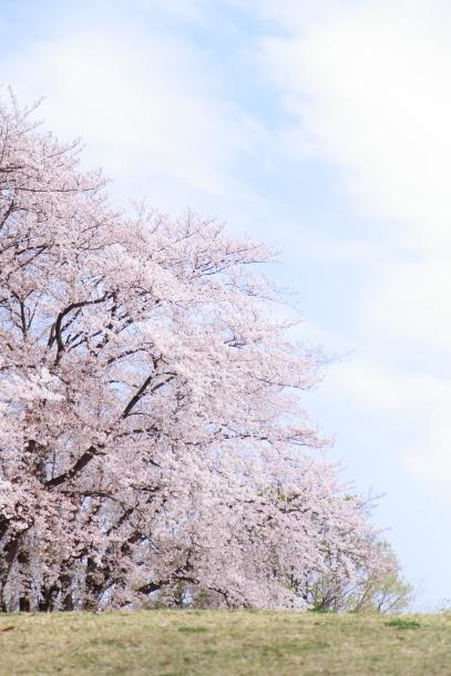 エルの桜3パぴ00075955