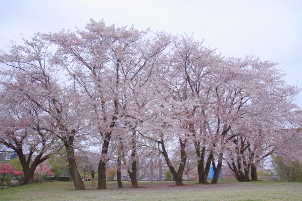 エルの桜3パぴ00076034