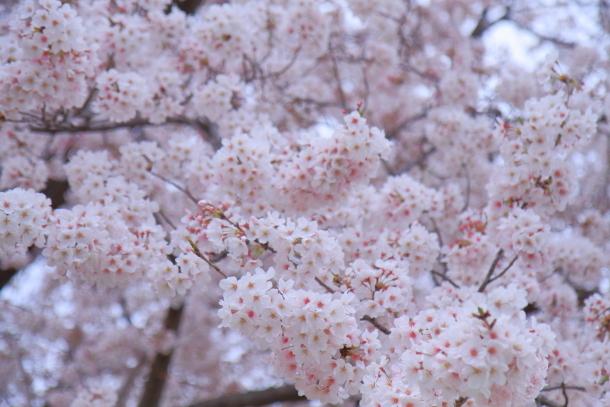 エルの桜3パぴ00076056