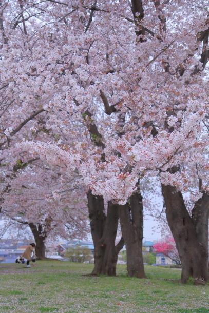 エルの桜3パぴ00076060