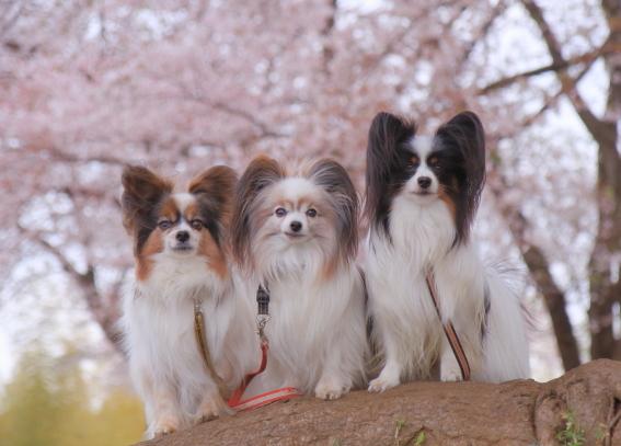 エルの桜3パぴ00075993