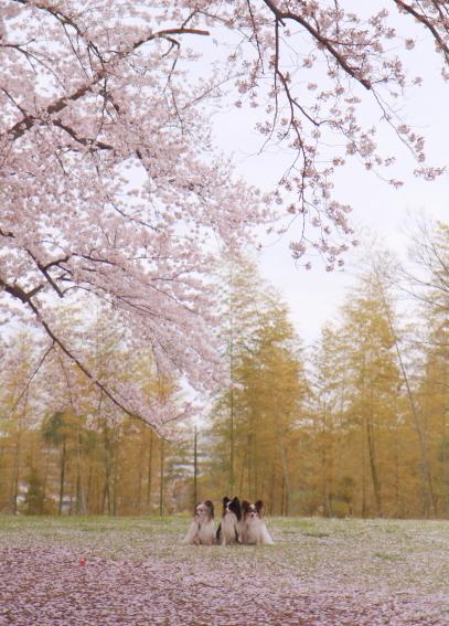 エルの桜3パぴ00075995