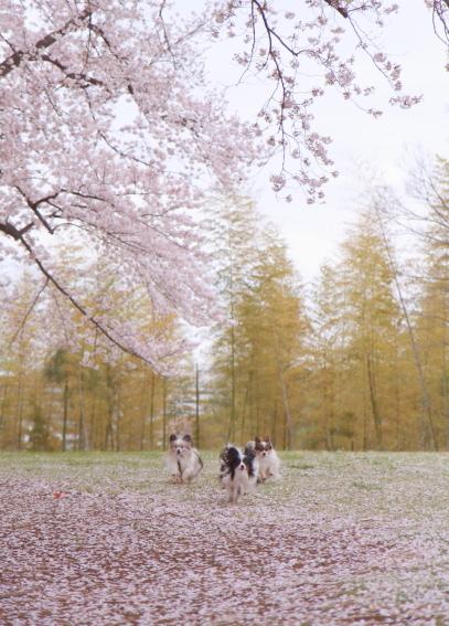 エルの桜3パぴ00075996