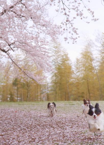 エルの桜3パぴ00075997