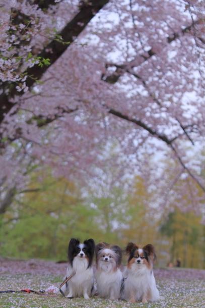 エルの桜3パぴ00076036