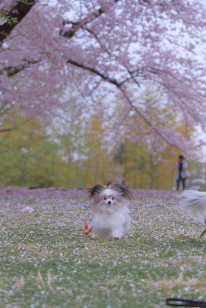 エルの桜3パぴ00076042