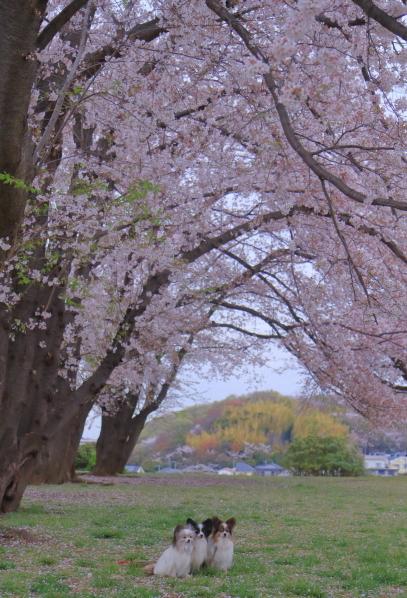 エルの桜3パぴ00076032