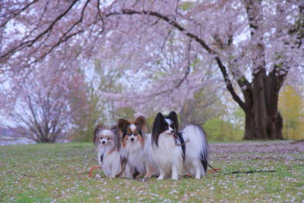 エルの桜3パぴ00076089