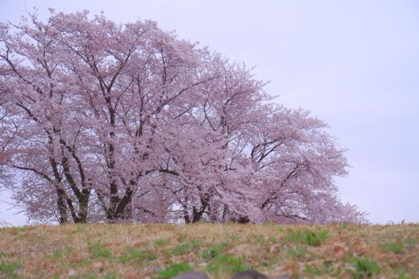エルの桜3パぴ00076162