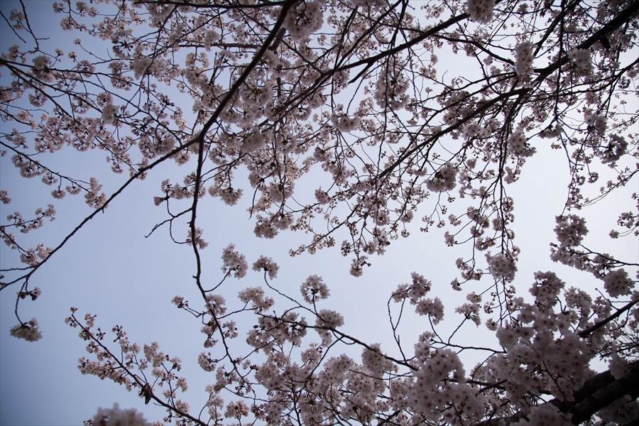 2019-04 桜