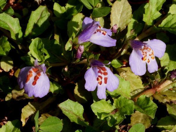 紫鷺苔20190423-3-a