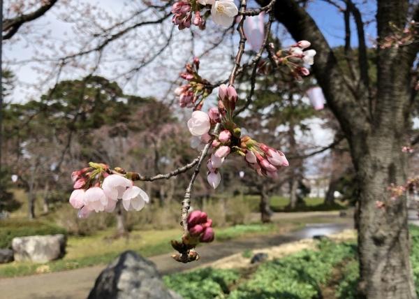 2019-03-31 ソメイヨシノ