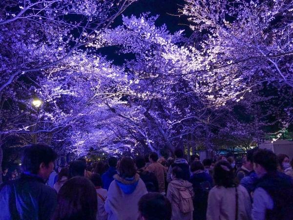 2019-04-06 夜桜2