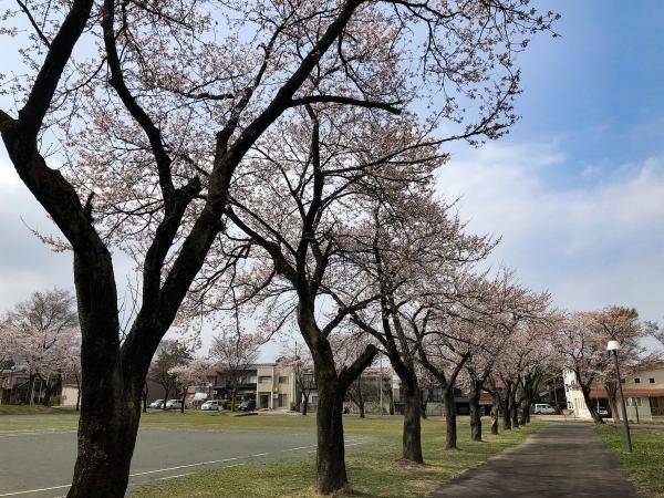 2019-04-07 文化オール桜