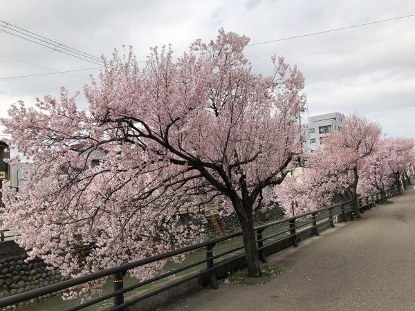 2019-04-08 コヒガンザクラ1