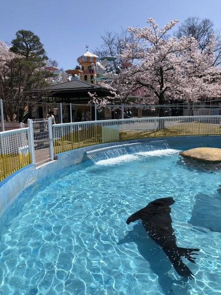 2019-04-20 動物園カルフォルニアアシカ