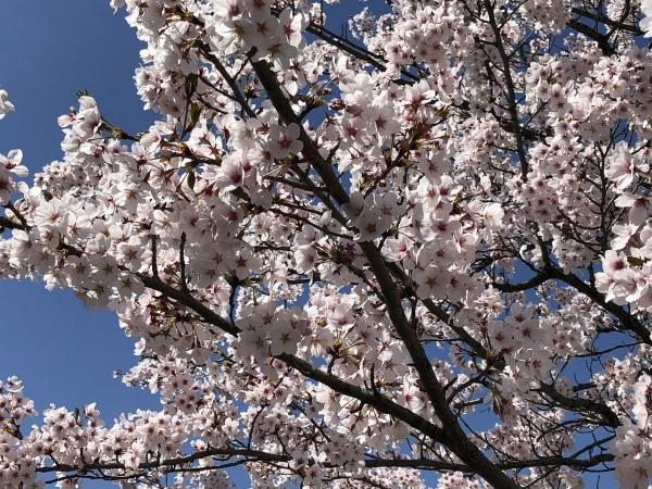 2019-04-20 桜アップ