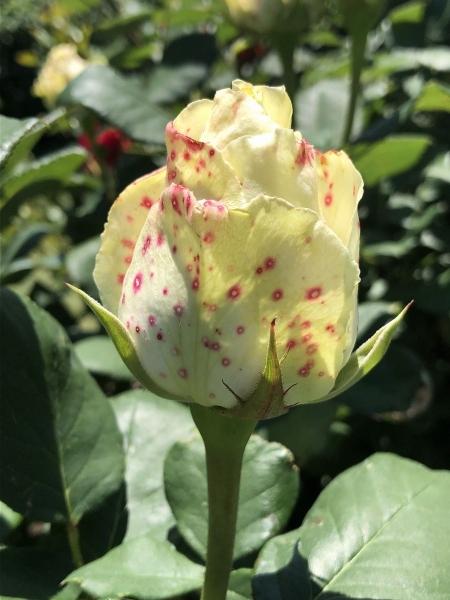 赤点入りの黄色いバラ