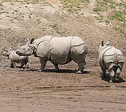250px-Indian_Rhinoceros[1]