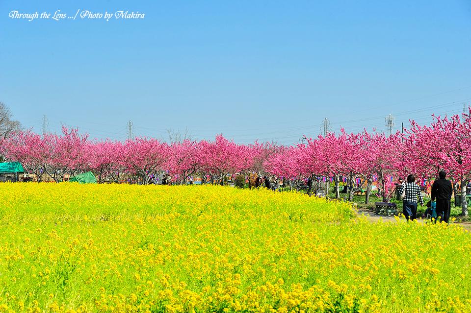 20150326撮影菜の花と桃