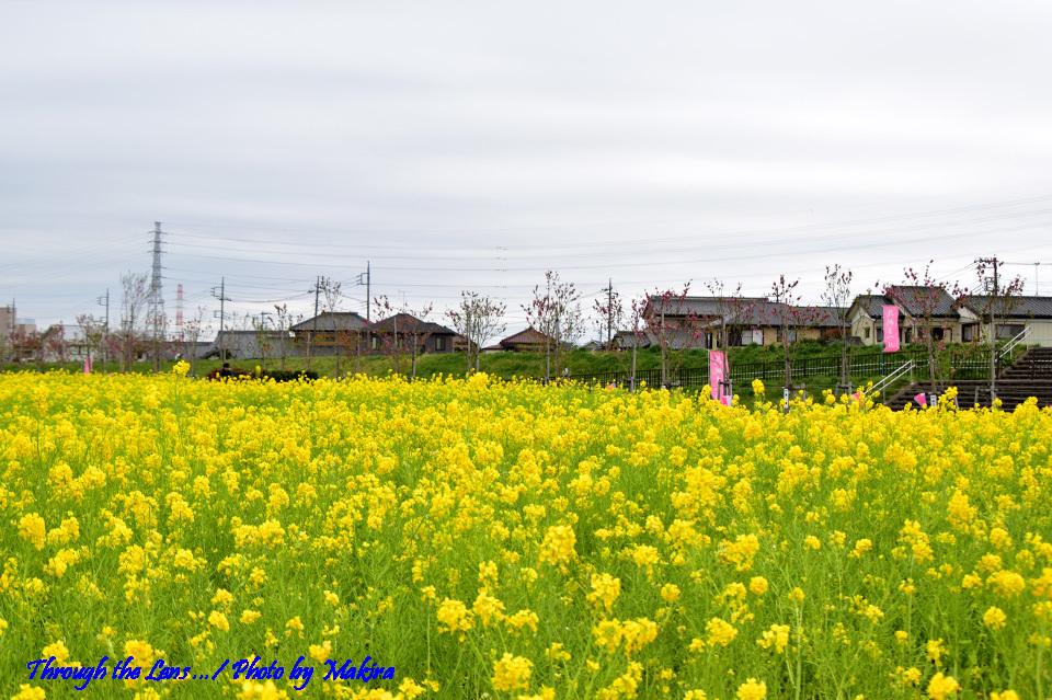 菜の花と桃?56D1