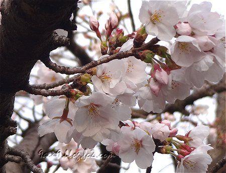 3ー29 今年初の桜 1