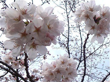 3ー29 今年初の桜 2
