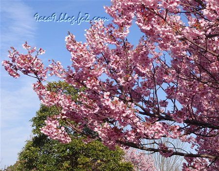 2019 4-5 京都の桜 1