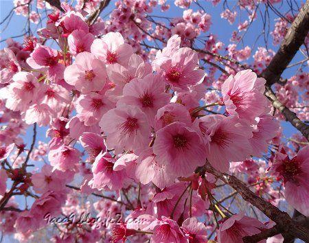 2019 4-5 京都の桜 2