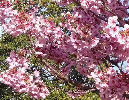 2019 4-5 京都の桜 3