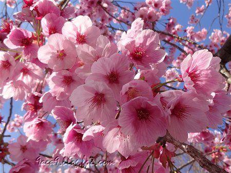 2019 4-5 京都の桜 4