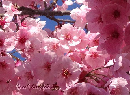 2019 4-5 京都の桜 5