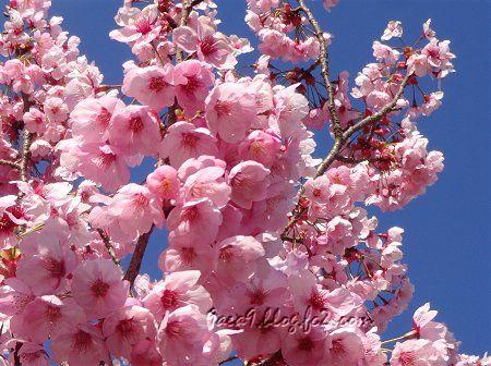 2019 4-5 京都の桜 6