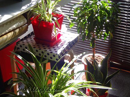私の 部屋 窓 ブラインド 朝日 観葉植物 1