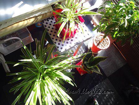 私の 部屋 窓 ブラインド 朝日 観葉植物 2