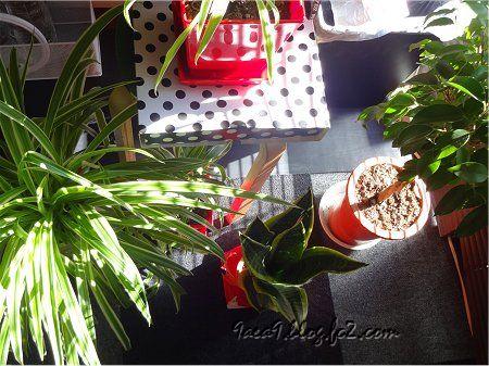 私の 部屋 窓 ブラインド 朝日 観葉植物 3