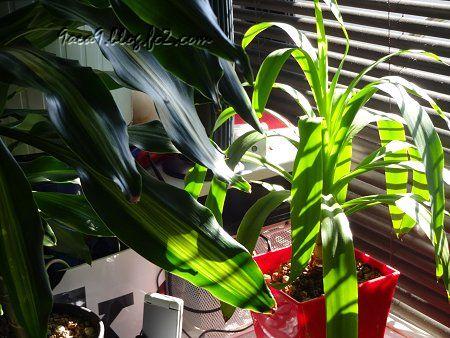 私の 部屋 窓 ブラインド 朝日 観葉植物 4