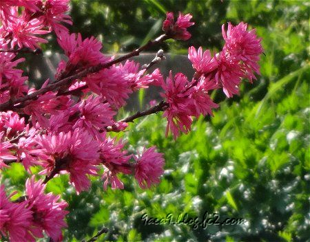 そこらで咲いてる ピンクの花 1
