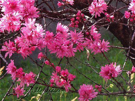 そこらで咲いてる ピンクの花 2