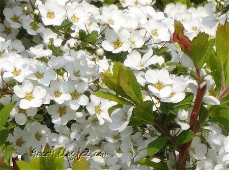 春の白い花も好き 2