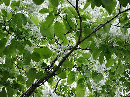 春に咲く白い花 1